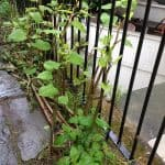 How to identify Japanese knotweed