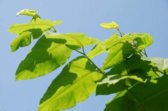 2019-giant-knotweed-leaves