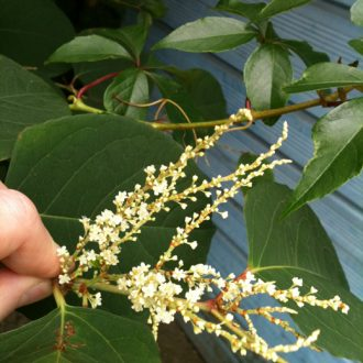 japanese-knotweed-flower-leaf-specemin