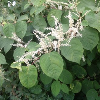 japanese-knotweed-flowering