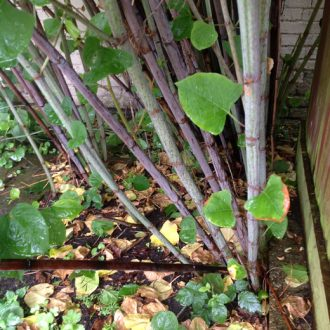 japanese-knotweed-purple-canes